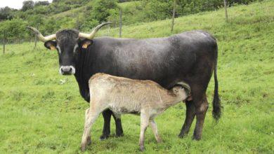 Photo of Las explotaciones de 'Carne de Cantabria' se duplican