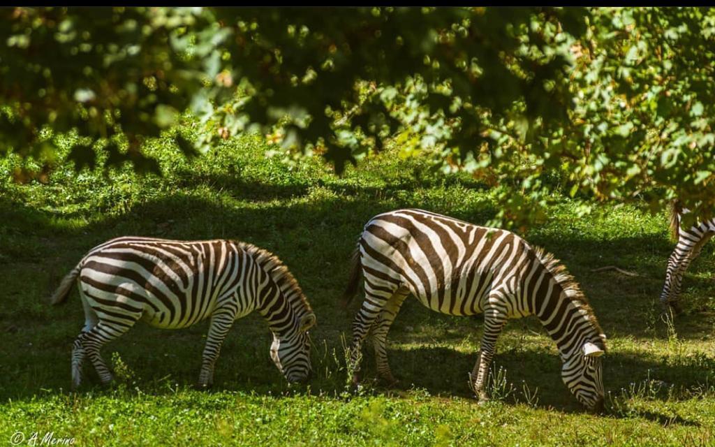 Cebras del Parque de Cabárceno. Foto: Ainhoa Merino