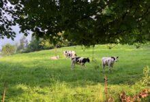 Photo of UPA denuncia una 'tormenta perfecta' en el sector lácteo y amenaza con movilizaciones