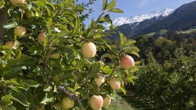 Photo of La manzana, un bocado de salud respetuoso con el medio ambiente, según Val Venosta
