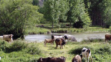 Photo of La ganadería de carne se impone en silencio