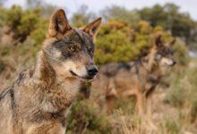 Photo of Cazar lobos está prohibido en toda España a partir de hoy