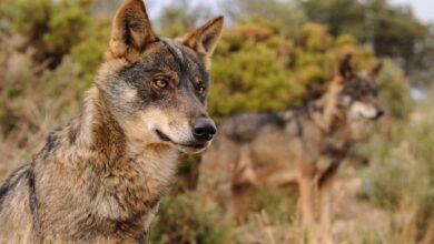 Photo of Cazar lobos estará prohibido en toda España a partir de mañana