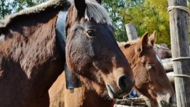 Photo of El 6 y 7 de noviembre llega la Fira del Cavall de Puigcerdà, una de las más importantes de Europa